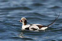 Long-tailed-duck, male in non-breeding plumage – Long Island, NY – Nov. 25, 2006 –Wolfgang WAnder
