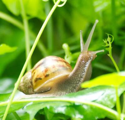 snail sp