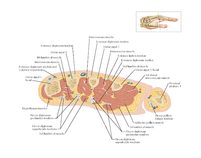 Cross Section of Hand: Axial View Anatomy