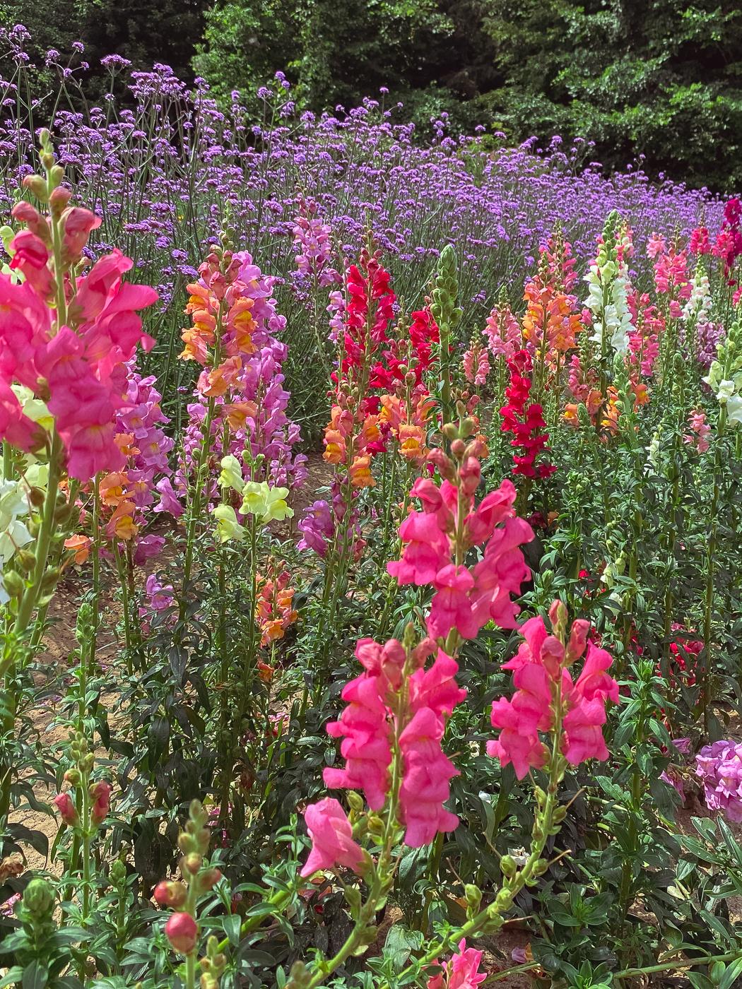 Snapdragon, summer garden flowers, blooming flowers, summer flowers that bloom