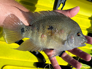 Rio Grande Cichlid, Rio on the Fly, Fly Fishing for Sunfish, Fly Fishing the South Llano, South Llano River, Texas Fly Fishing, Fly Fishing Texas, Pat Kellner, Dac Collins, Spring-Fed Adventures