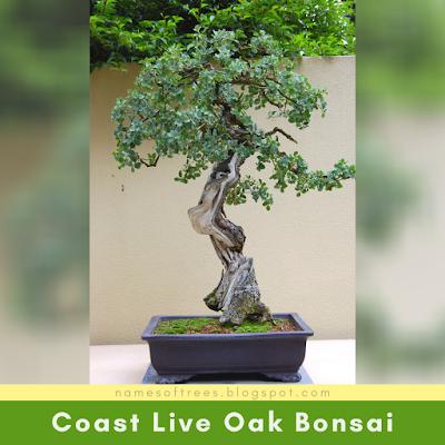 Coast Live Oak Bonsai