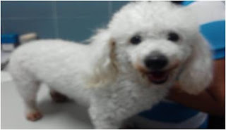 Poodle macho de color blanco