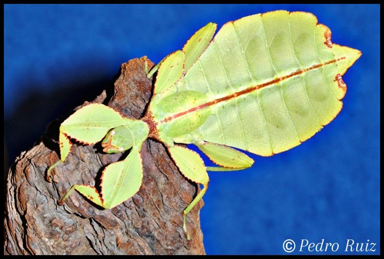 Ninfa hembra L6 de Phyllium philippinicum, 6,2 cm de longitud