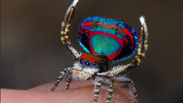 Новий вид павиного павука