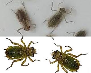 Jekutru Larva Capung