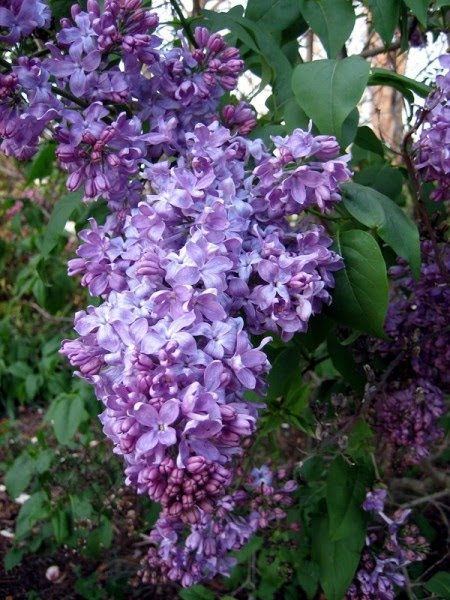 Now Lilacs Are Blooming In March >> Julian Station Lilacs