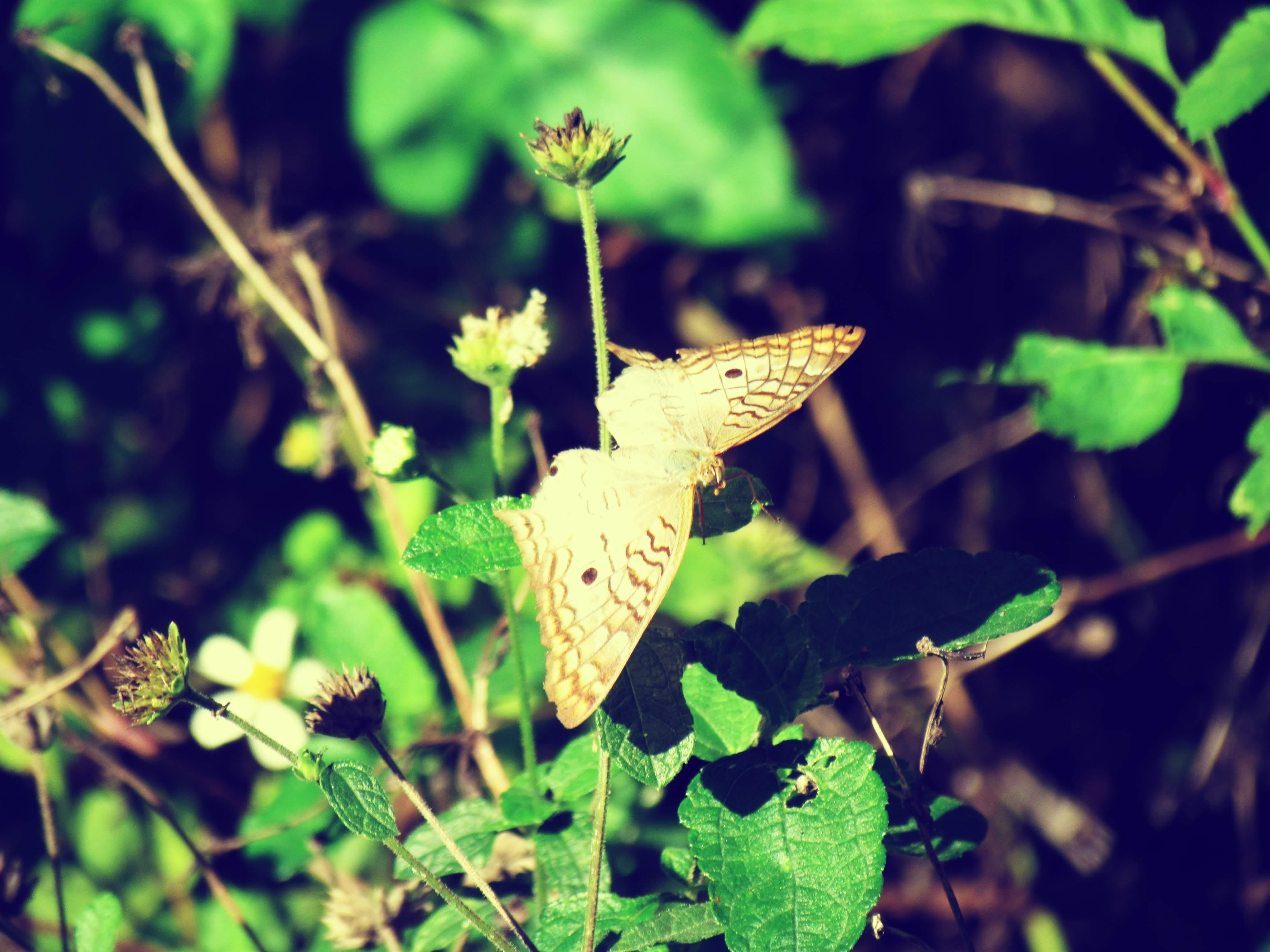 A pale, tan butterfly in the butterfly garden of Hammock Park in Florida