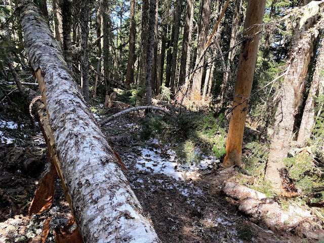 Downed trees and snow hide the trail