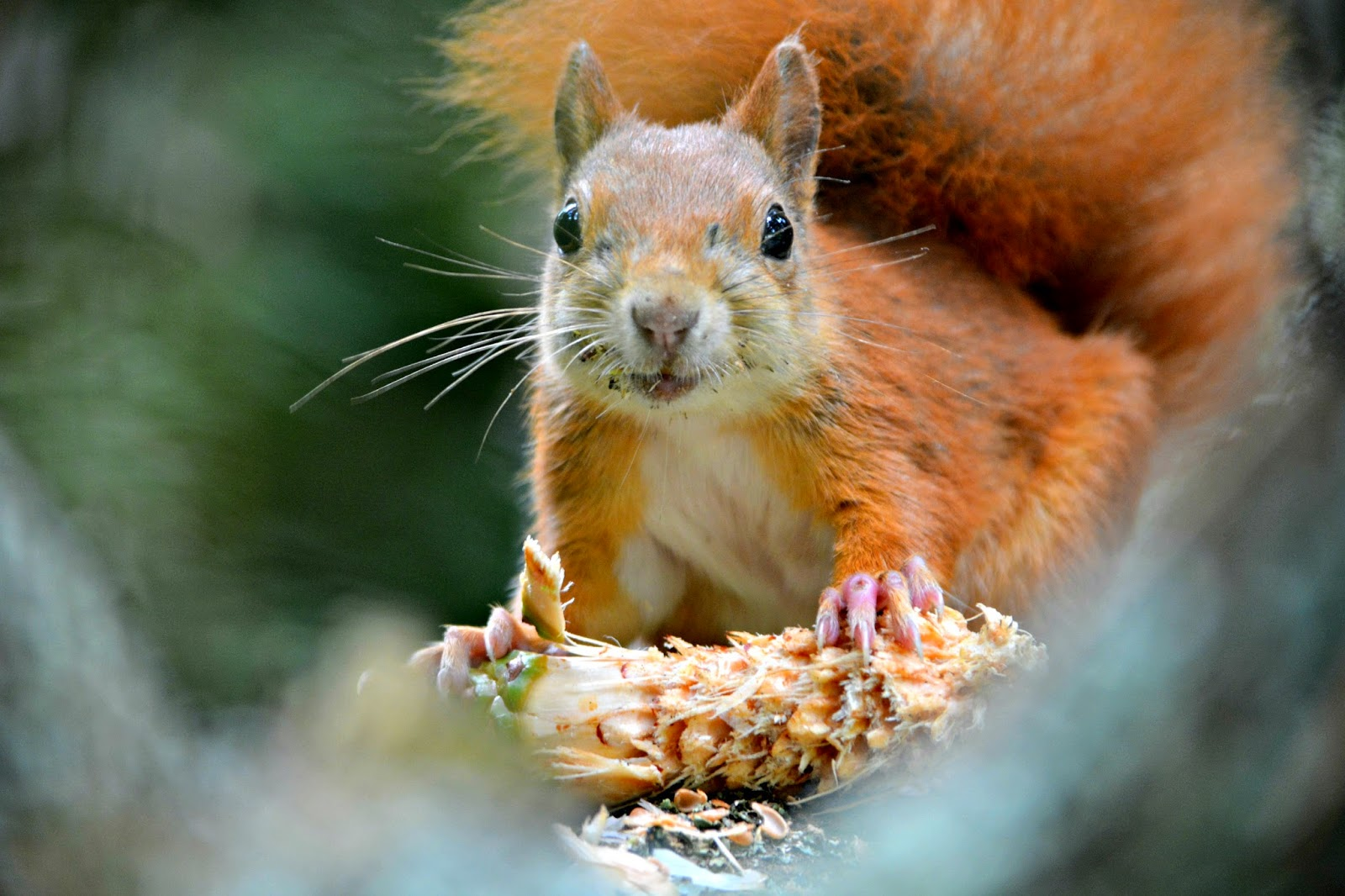 Red squirrel eating in Tresco Abbey Gardens on Isles of Scilly
