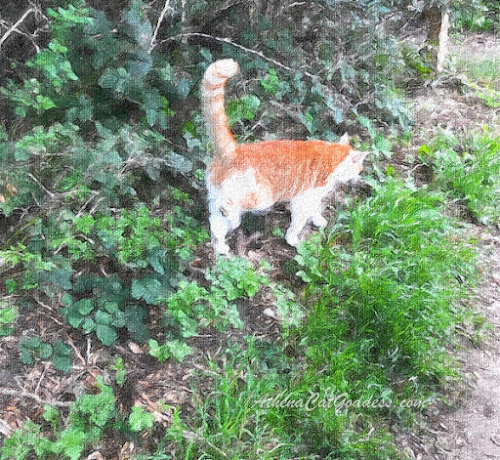 ginger and white cat walking on edge of woods