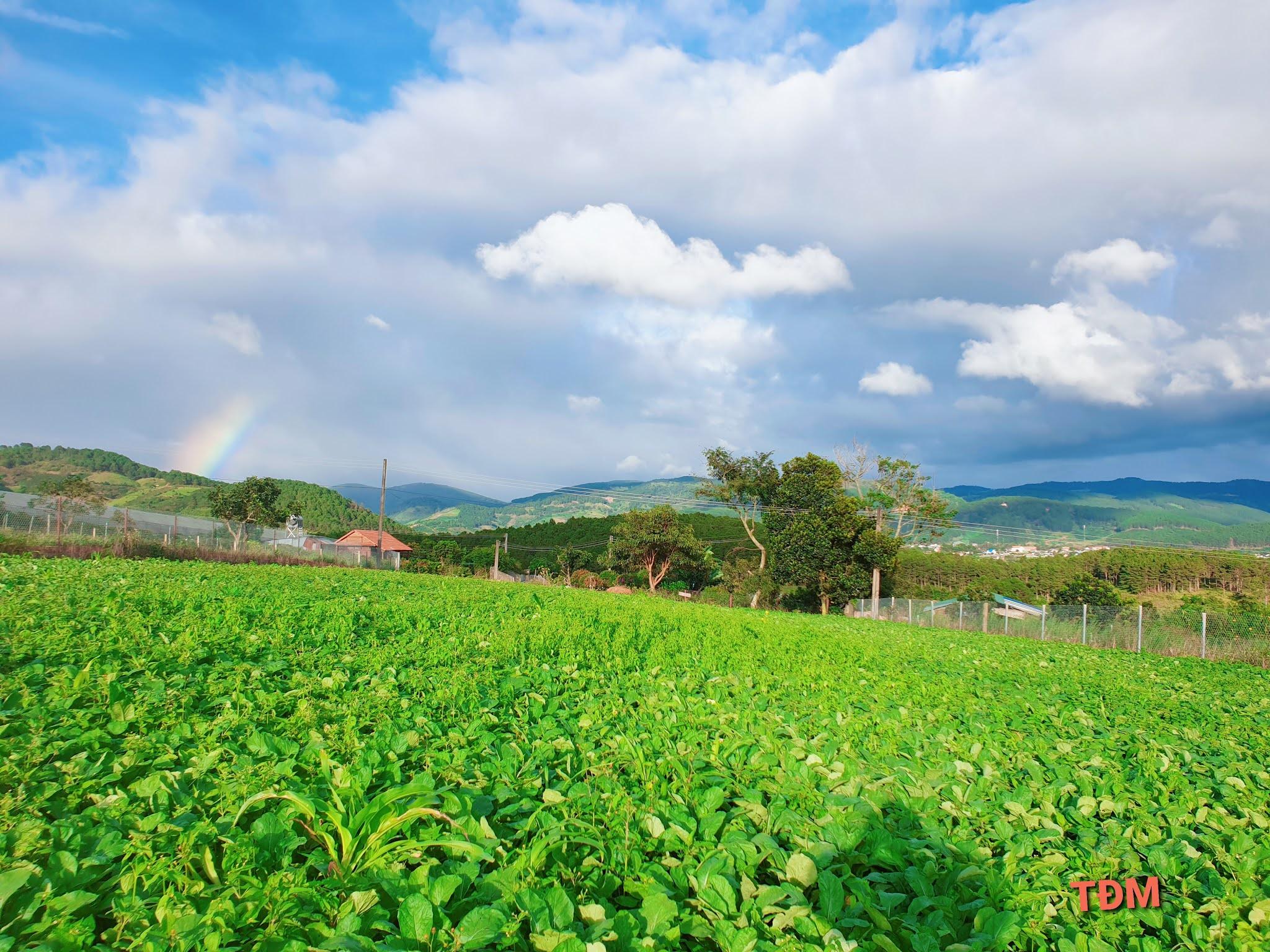 Cầu vồng phía xa vườn hoa cải