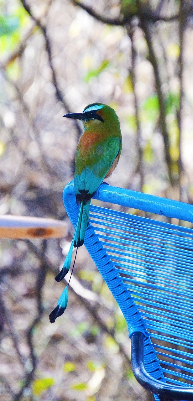 A turquoise-browed motmot.