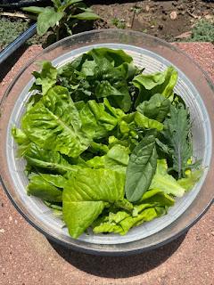 Fresh Picked  Lettuce