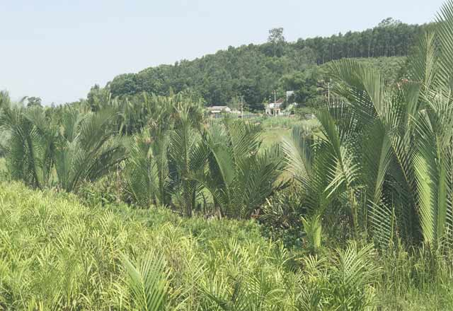 Quảng Ngãi khai tử rừng dừa nước gần trăm năm tuổi để làm nhà máy giấy