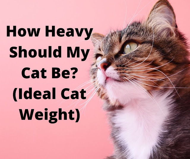 How Heavy should my Cat be? (Ideal Cat Weight)