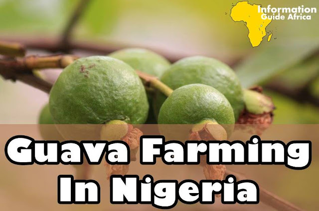 Guide On How To Start A Lucrative Guava Farming Business In Nigeria