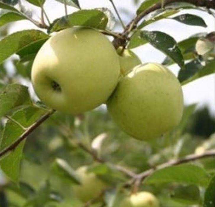 Bibit apel manalagi terlaris Banten