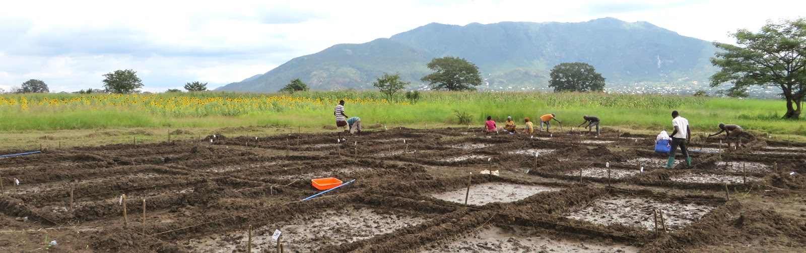 water saving rice production systems - 1600×502