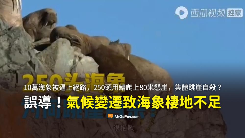 10萬海象被逼上絕路 250頭用鰭爬上80米懸崖 集體跳崖自殺 謠言