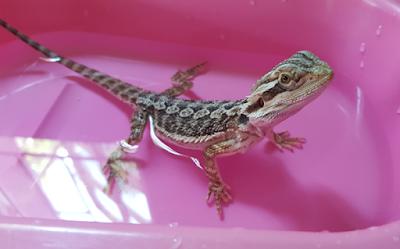 Bearded dragon bath
