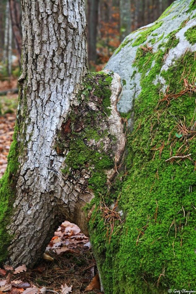 jeune chêne des Gorges d'Apremont
