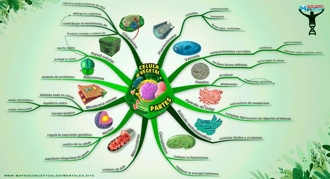 Mapa mental de la célula vegetal con todas sus partes y funciones