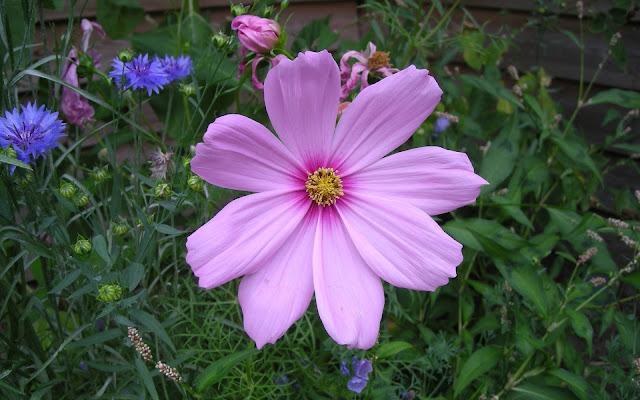 Roze bloem volop in bloei