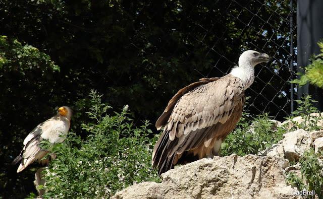 Vautours, Parc des Oiseaux de Villars-les-Dombes