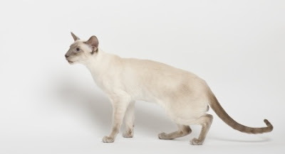 Siamese with kinked tail singapore