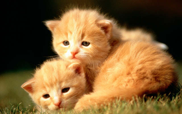 Two red kittens.
