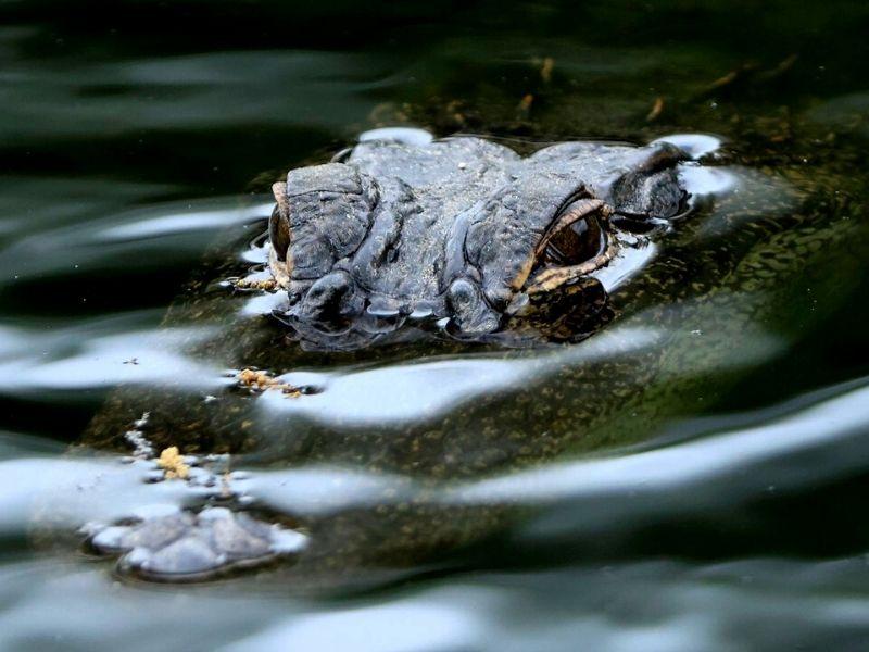 Artefato de quase 6.000 anos é encontrado dentro de crocodilo nos EUA