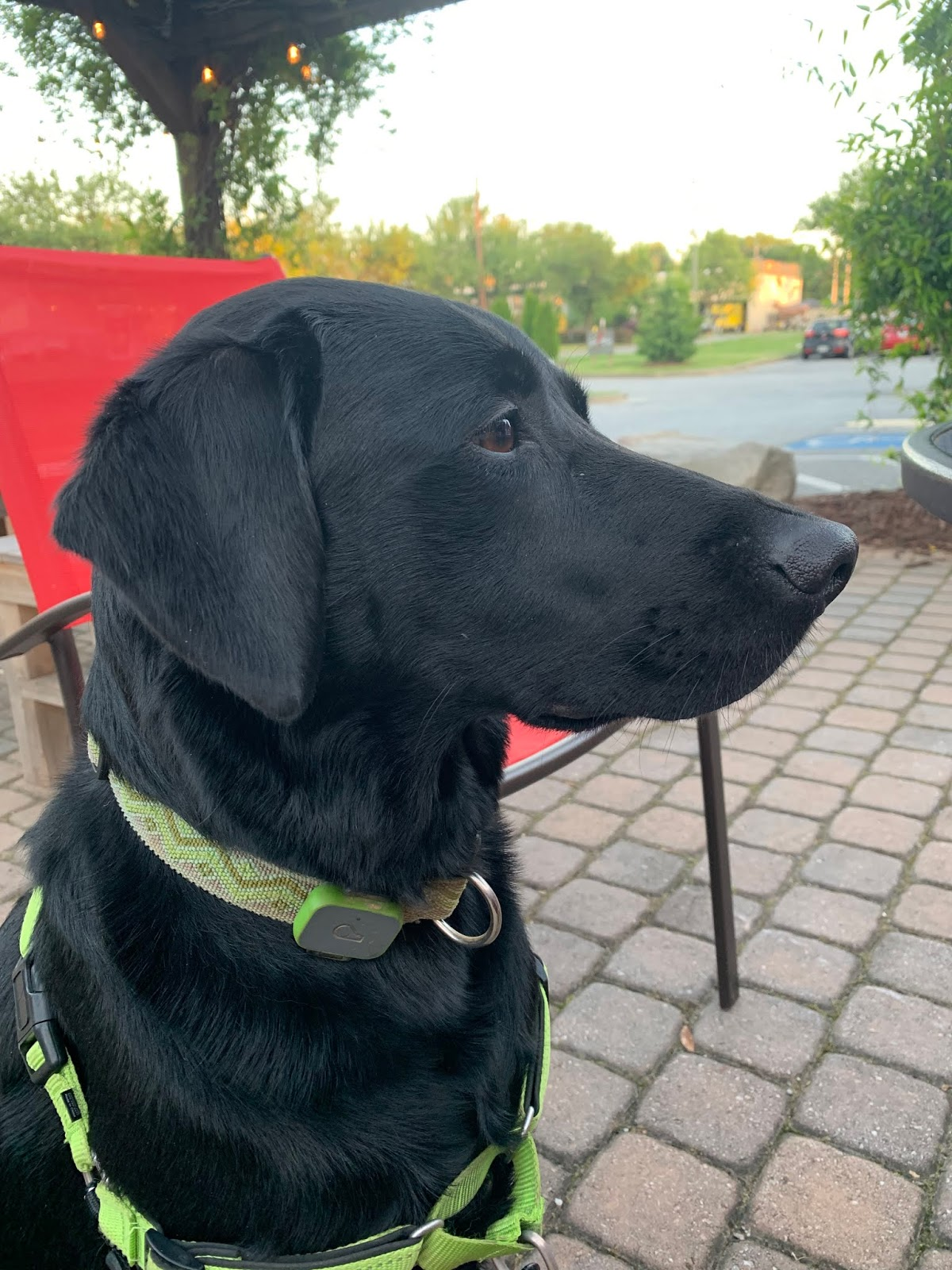 Albus, a black lab, stares thoughtfully into the distance