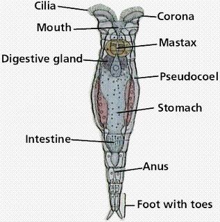Pengertian Hewan Rotifera, Klasifikasi, dan Cirinya