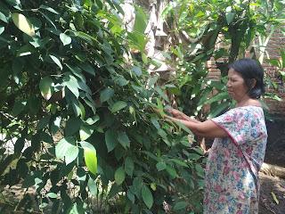 Seorang Petani Lada Lampung