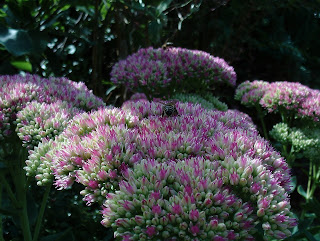 Sedum spectabile #mygardenrightnow Green Fingered Blog