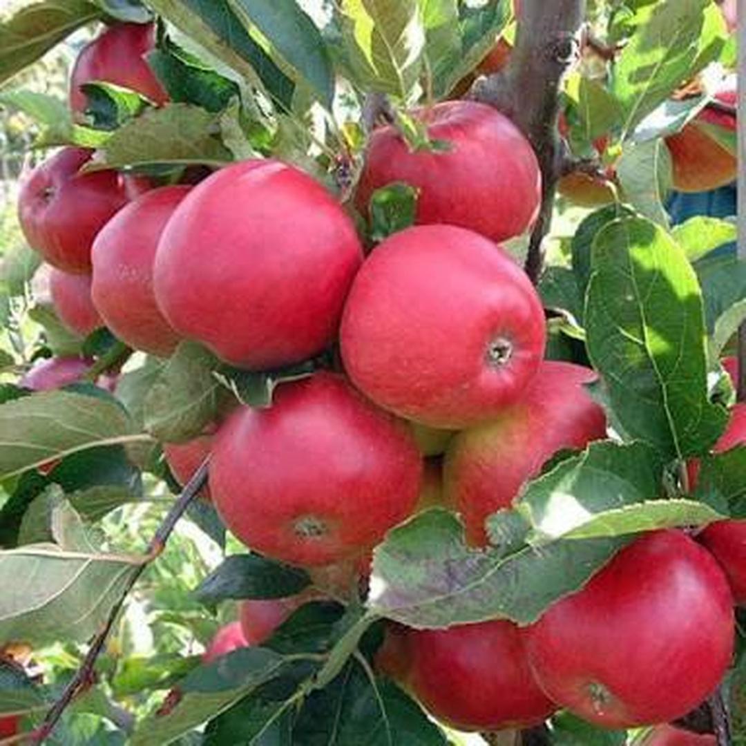 Jaminan Mutu! Bibit tanaman buah Apel Washington Kota Bandung #bibit buah langka
