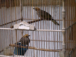 Burung Cucak Rowo - Pemilihan Indukan dan Burung Cucak Rowo - Penangkaran Burung Cucak Rowo