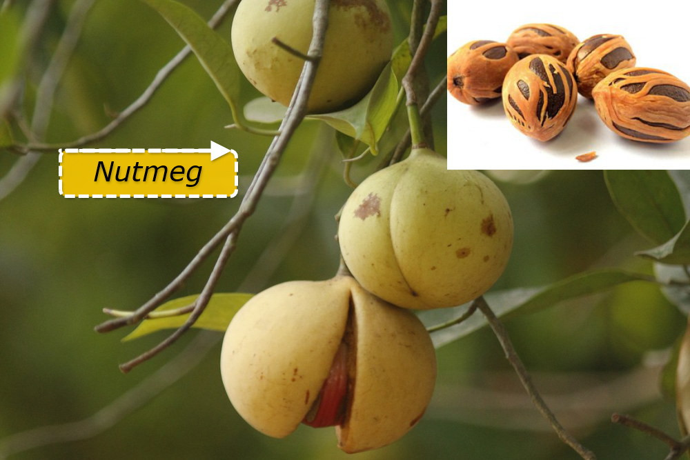 Nutmeg: Tree, History, Health Benefits and Side Effects