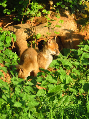 Two fox cubs in front of tree roots, stinging nettles in foreground (photo)