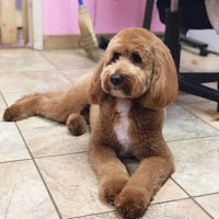 MicroGoldendoodle_low_grooming_demand