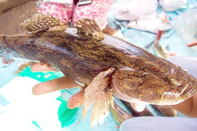 ikan betutu karawangportal