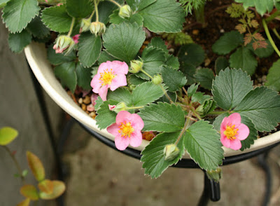 ワイルドストロベリー花