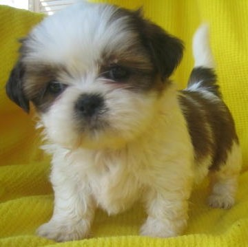 Group Of Cute Shih Tzu Puppies