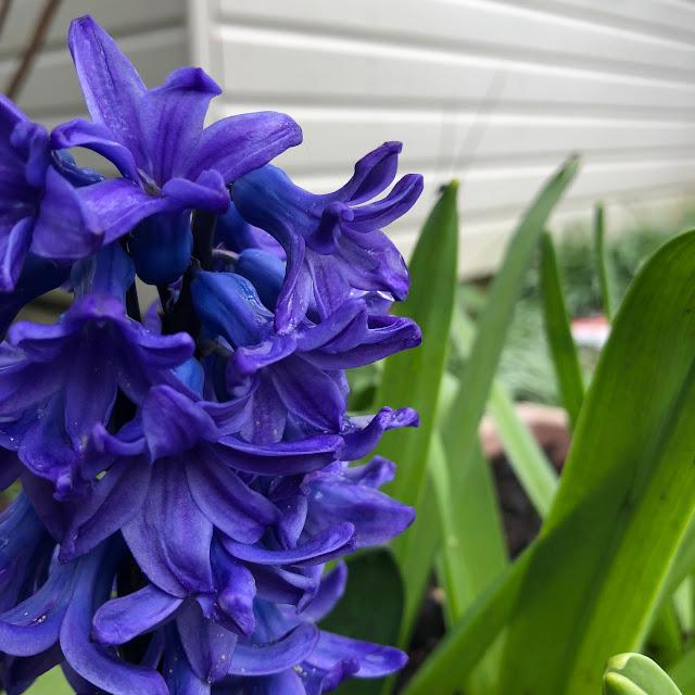 spring garden flowers, Chez Maximka