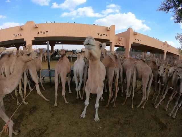 Mercado de Camelos Al Ain