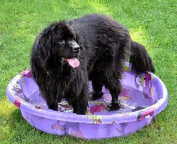 The Newfoundland Is A Dog When Full Grown Though Mellow He S Not Your Basic One Bedroom Apartment And Would Probably Be Hier In More Ious