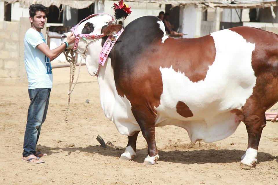 qurbani cow running 2017 - photo #41