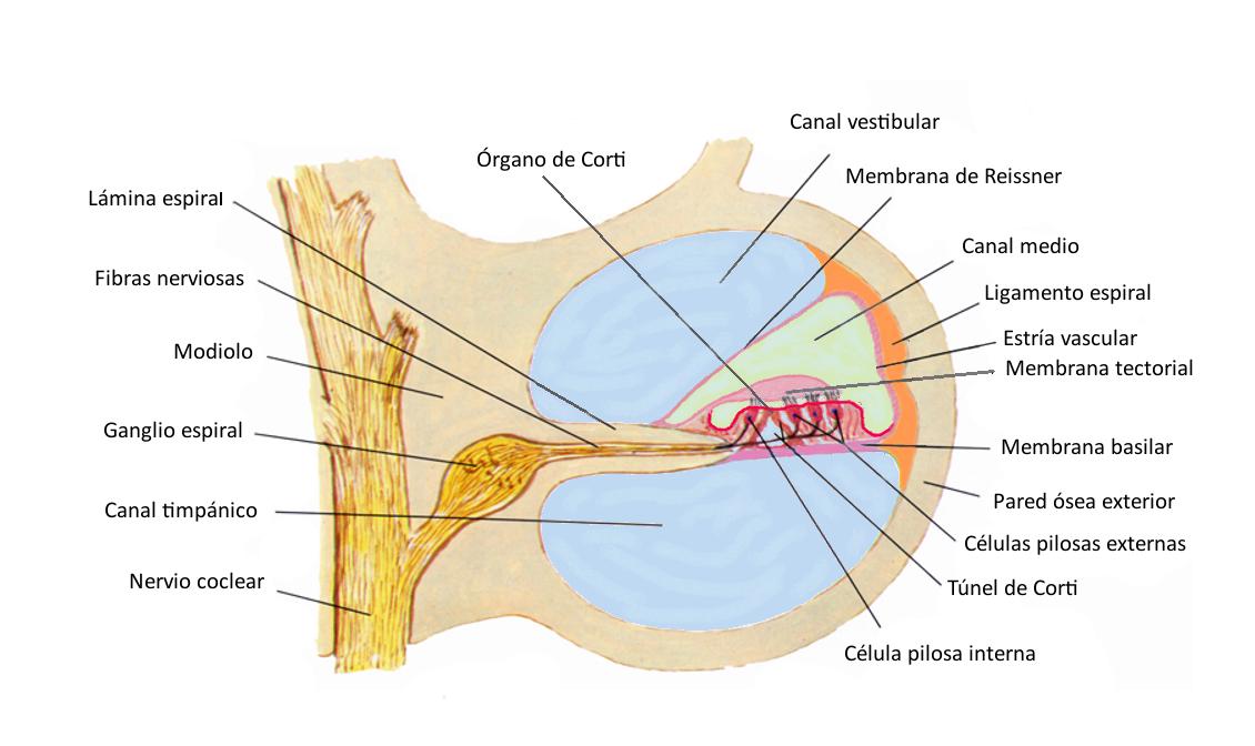 Figura 6. Ilustración de un corte transversal de una vuelta de la cóclea