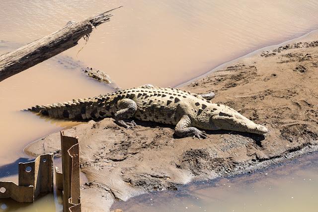 Cocodrilo tumbado en el río Tárcoles, Costa Rica